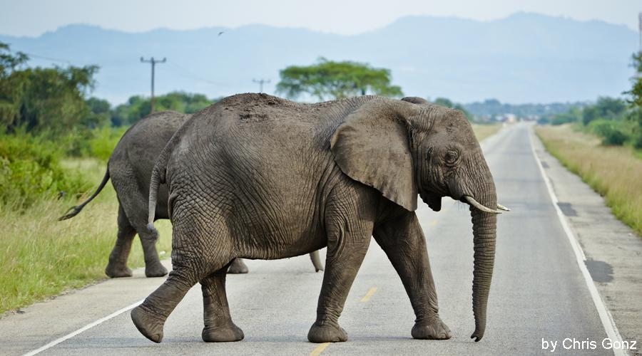 Elefant_a_Strasse